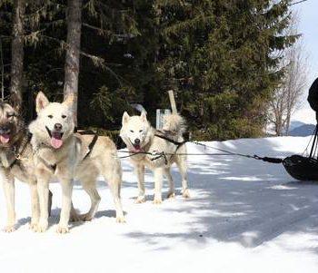 chiens de traîneaux méribel